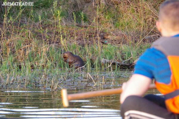 Kanuuga kopraid vaatlema